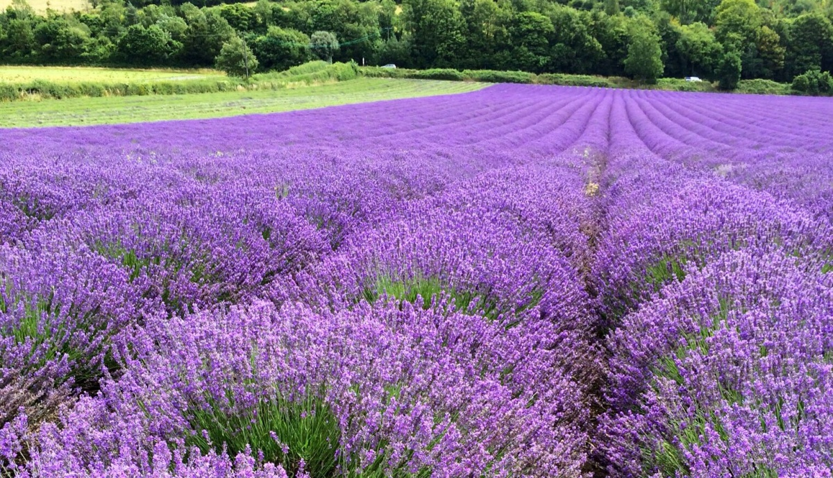 The lovely lavender fields in Kent. | suppernut
