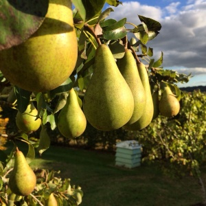 Pears on the tree